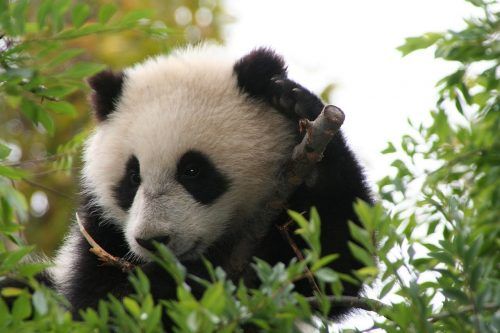 Su_Lin_giant_panda_bear_cub_at_the_San_Diego_Zoo