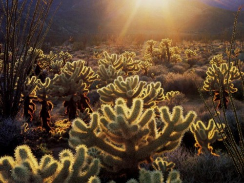 Teddy_bear_cholla_-_cactus-600x450