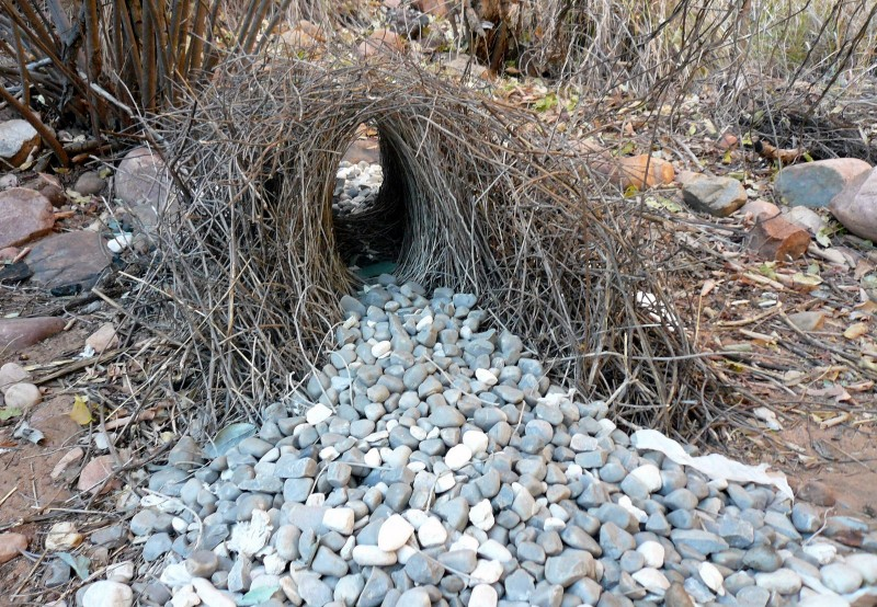 greater-Bowerbird-bower-800x554